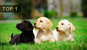 Labradoro retriveris informacija,paveiksliukai,vardai,kaina