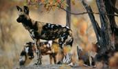 Afrikos hieninis šuo informacija,paveiksliukai,vardai,kaina