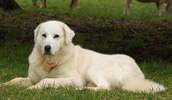 Akbash šuo informacija,paveiksliukai,vardai,kaina
