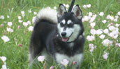 Alaskan Klee Kai informacija,paveiksliukai,vardai,kaina