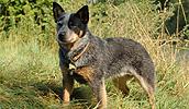 Australijos ganymo šuo informacija,paveiksliukai,vardai,kaina