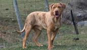 Catahoula Bulldog informacija,paveiksliukai,vardai,kaina