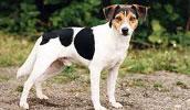 Danų-švedų fermerių šuo informacija,paveiksliukai,vardai,kaina
