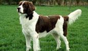 Drentės kurapkiniai šuo informacija,paveiksliukai,vardai,kaina