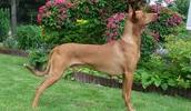 Faraonų šuo informacija,paveiksliukai,vardai,kaina