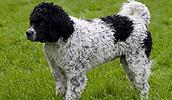 Frizų vandens šuo informacija,nuotraukos,vardai,kaina