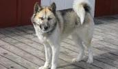 Grenlandijos šuo informacija,paveiksliukai,vardai,kaina