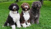 Ispanų vandens šuo informacija,paveiksliukai,vardai,kaina