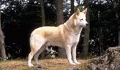 Kanaano šuo informacija,paveiksliukai,vardai,kaina