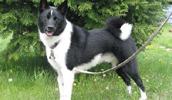 Karelų lokinis šuo informacija,paveiksliukai,vardai,kaina