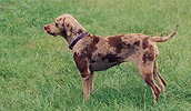 Katahulos leopardinis šuo informacija,nuotraukos,vardai,kaina