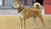Korėjos džindo šuo informacija,paveiksliukai,vardai,kaina