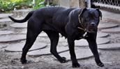 Korsikos šuo informacija,paveiksliukai,vardai,kaina