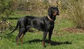 Lenkų medžioklinis šuo informacija,nuotraukos,vardai,kaina