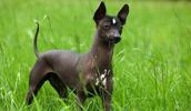 Meksikos beplaukis šuo informacija,nuotraukos,vardai,kaina