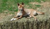 Naujosios Gvinėjos dainuojantis šuo informacija,paveiksliukai,vardai,kaina