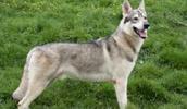 Northern Inuit Dog informacija,paveiksliukai,vardai,kaina