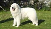 Pirėnų kalnų šuo informacija,paveiksliukai,vardai,kaina
