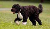Portugalų vandens šuo informacija,paveiksliukai,vardai,kaina