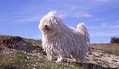 Pulis (šuo) informacija,paveiksliukai,vardai,kaina