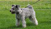 Pumis (šuo) informacija,nuotraukos,vardai,kaina