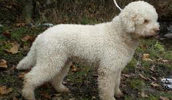Romanijos vandens šuo informacija,paveiksliukai,vardai,kaina