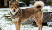 Šikoku šunys informacija,paveiksliukai,vardai,kaina