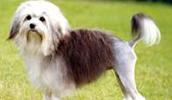 Šuo liūtukas informacija,paveiksliukai,vardai,kaina
