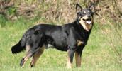 Suomių šiaurės elnių ganymo šuo informacija,paveiksliukai,vardai,kaina