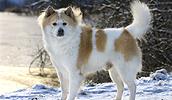 Tailando Bangkaew šuo informacija,paveiksliukai,vardai,kaina