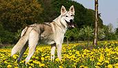 Tamaskano šuo (Tamaskanas) informacija,paveiksliukai,vardai,kaina