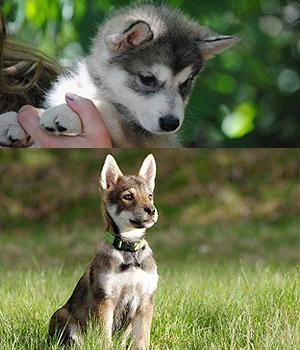 Tamaskano šuo (Tamaskanas) - nuotraukos, savybės - Visos ...