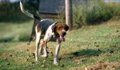 Treeing Walker Coonhound informacija,paveiksliukai,vardai,kaina